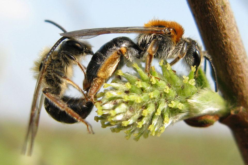 Andrena haemorrhoa i parring. <br />Foto: © A. J. Loonstra