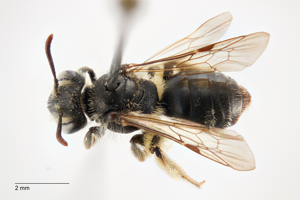 Andrena nanula. Foto: © Anders Illum, Statens Naturhistoriske Museum