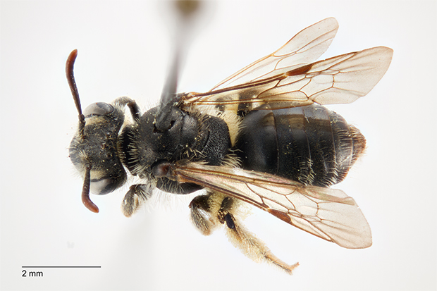 Andrena nanula, foto © Anders Illum, Statens Naturhistoriske Museum