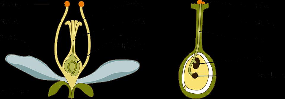 Skematisk opbygning af en blomst og vejen fra bestøvning til befrugtning. Kilde: Hansted et al. 2018.