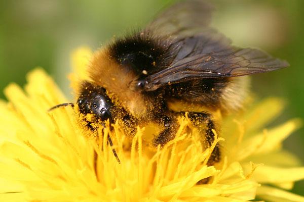 Insekterne flytter pollenkorn i deres søgen efter føde. Foto © Maria Gram / Vildebier.dk