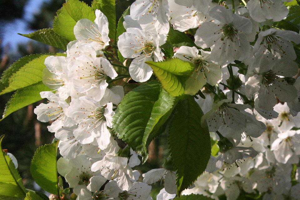 Blomstrende kirsebærtræ. Foto: © Maria Gram /Vildebier.dk