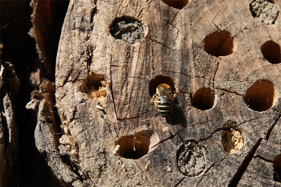 Hunnen af en silkebi ved redeåbningen. Foto: © Maria Gram / Vildebier.dk