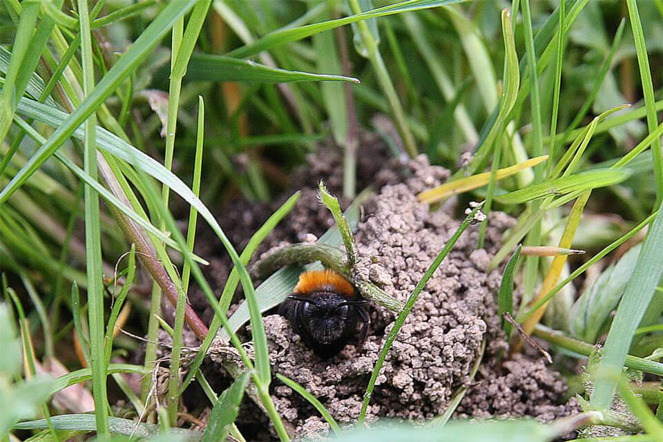 En rødpelset jordbi kigger ud. Foto: © Maria Gram / Vildebier.dk