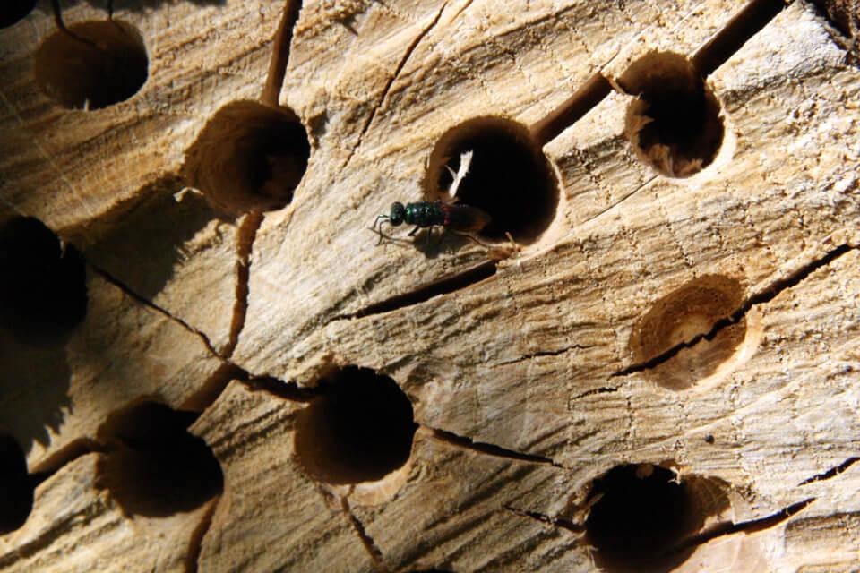 Borer man i endetræ får man mange grove revner, der gør livet nemt for snyltere. Foto: © Maria Gram / Vildebier.dk