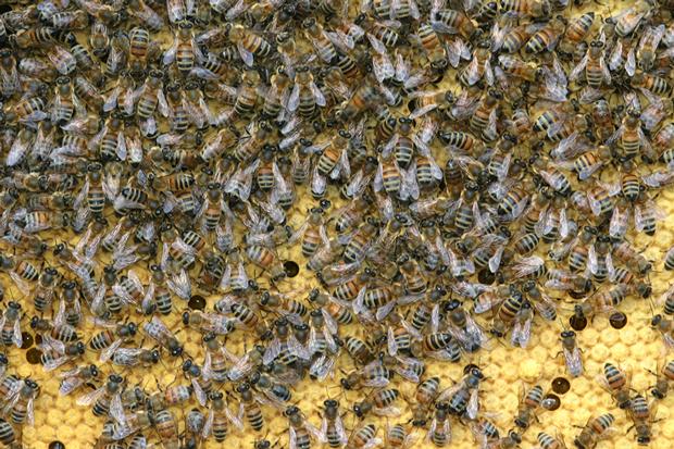 Honningbier. Foto: © Maria Gram / Vildebier.dk