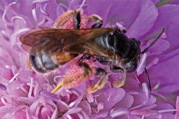 Blåhatjordbien, Andrena hattorfiana. Foto: © Palle Frejvald