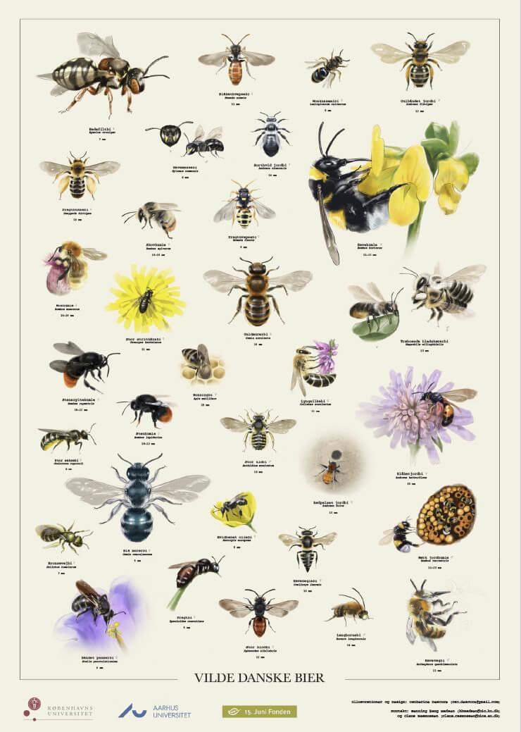 Plakat med udvalgte danske arter af bier, tegnet og designet af © Catherine Descure