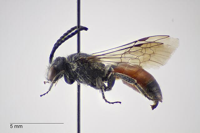 Sphecodes spinulosus, male. Foto: © Anders Illum, Statens Naturhistoriske Museum