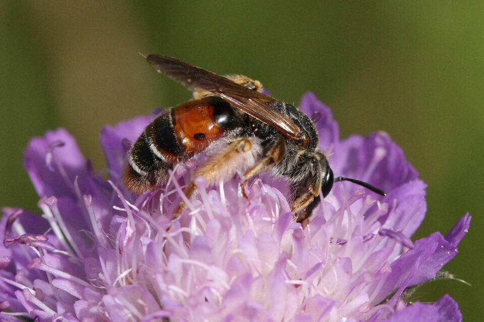 Blåhatjordbi Andrena hattorfiana. Foto: © Maria Gram / Vildebier.dk