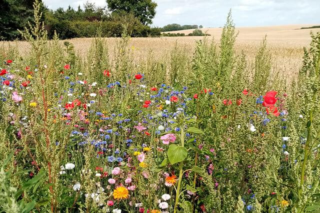Blomsterstribe i udkanten af marken. Foto © Maria Gram / Vildebier.dk