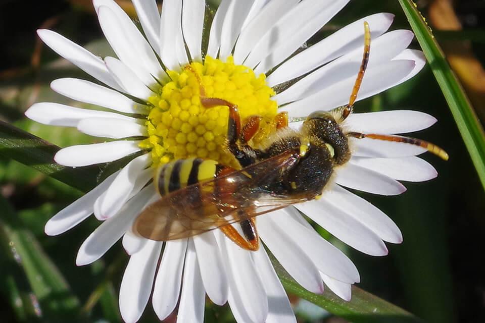 Han af hvepsebien Nomada bifasciata Olivier, 1811, Voderup Klint overdrev på Ærø (F), 20.IV.2021. Foto © Ulla Friborg