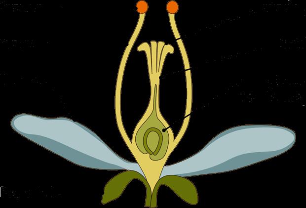 Skematisk opbygning af en blomst. Kilde: Hansted et al. 2018