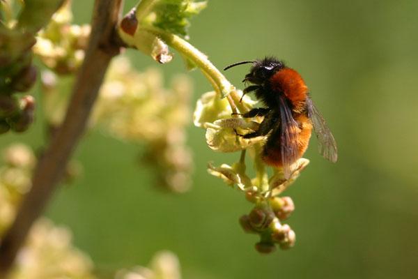 Jordbien Andrena fulva på haveribs. Foto © Maria Gram /vildebier.dk