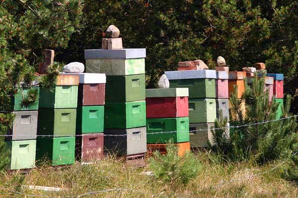 Danske honningbier bor i bistader. Foto: © Maria Gram / Vildebier.dk