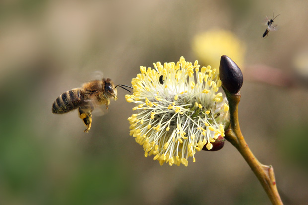 Honningbi ved blomstrende pil, foto: © Maria Gram / Vildebier.dk