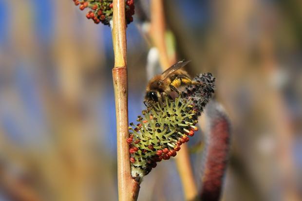 Pil er en vigtig pollenkilde for bierne. Foto: © Maria Gram