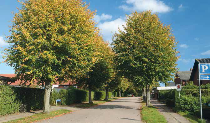 Lind er et populært træ i byerne. Foto: Colourbox.