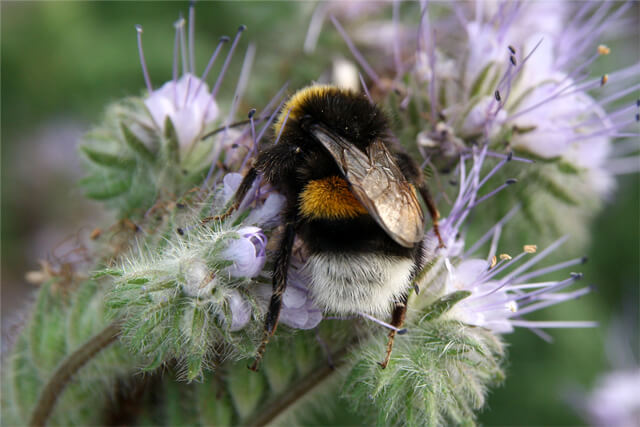 Humlebi i honningurt. Foto © Maria Gram / Vildebier.dk