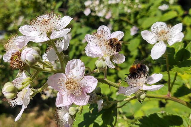 Hushumle og honningbi i brombær på Sorø Golfklubs baner. Foto © Lise Hansted (pressefoto, Danmarks Biavlerforening)